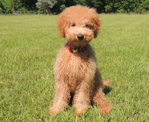 Prize Poodles and Doodles - Dog Breeders