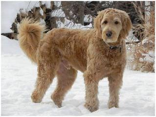 Pampered Paws Pet Massage/Golden Doodles - Dog Breeders