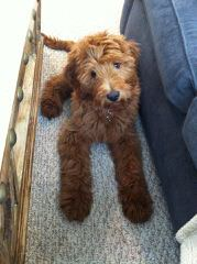 Chans Celebrity Golden Doodles - Dog Breeders