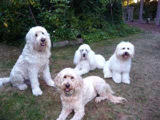 Goldendoodle - Dog Breeders