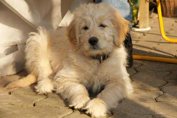 Guality F1 & F1b Goldendoodle Puppies For Sale - Dog Breeders