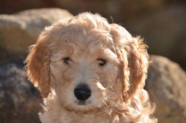 Sixth Day Ranch English Golden Doodles & Retrievers - Dog Breeders
