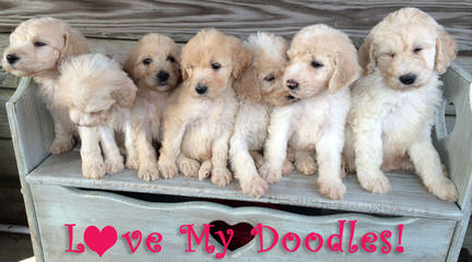 Bella's Double Doodles - Dog and Puppy Pictures