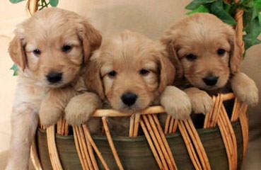 Goldendoodles of Utah - Dog Breeders