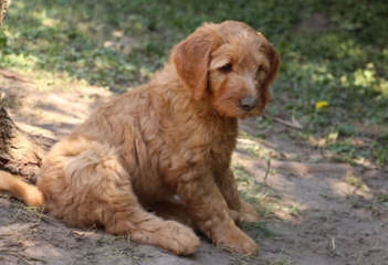 Moss Creek Goldendoodles English F1, F1b & Multi Gen Goldendoodles - Dog Breeders