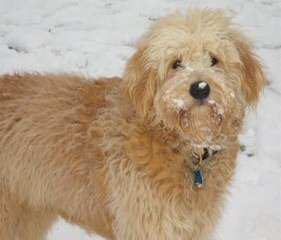 Golden Beauties Driven to Doodles - Dog Breeders