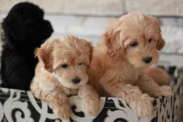 Honeybear English Goldendoodles - Dog Breeders