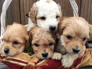 Cha Cha Doodles - Dog Breeders