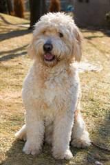 Doodle Heaven - Dog Breeders