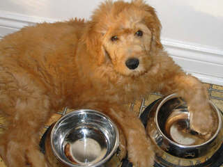 High Mesa Goldendoodles - Dog Breeders