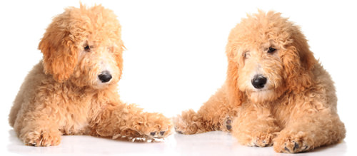 Hilltopgoldenpaws - Dog Breeders