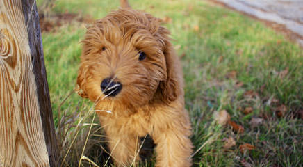 Mountain Made Labradoodles - Dog Breeders