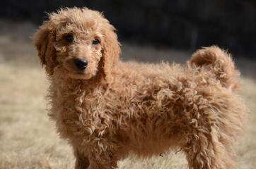 Hilltop Pups - Dog Breeders