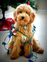 ELEGANT PUPS - Dog Breeders