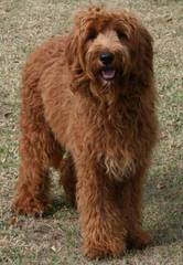 Doodle Dog Hill - Dog and Puppy Pictures