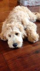 Zippity Doodles - Dog Breeders