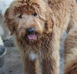 Cream Of The Crop Goldendoodles And Poodles Waitlist Now