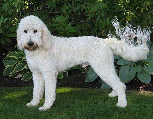 DeeCor Goldendoodles - Dog Breeders