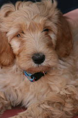 Bay Lake English Golden Doodles - Dog Breeders