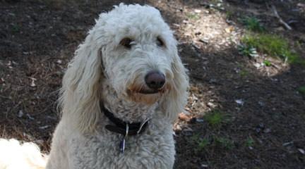 D & M GoldenDoodles - Dog Breeders