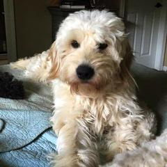Goldendoodles of Utah - Dog Breeders