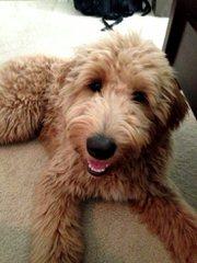 HillTop Doodles - Dog Breeders