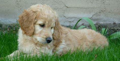 Parkridge Goldendoodles - Dog Breeders