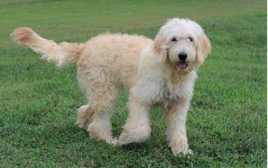 Chans Celebrity Golden Doodles - Dog Breeders