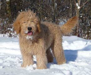 Miller's Georgeous Goldendoodles and Poodles - Dog Breeders