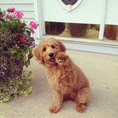 DOODLESVILLE - Dog Breeders