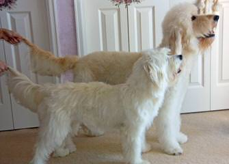 Doodles By Donna Top Quality F1 & F1b Goldendoodles - Dog Breeders