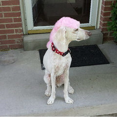 Ayers Pampered Pets - Dog Breeders