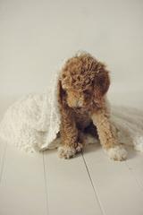 Parkridge Goldendoodles - Dog Breeders