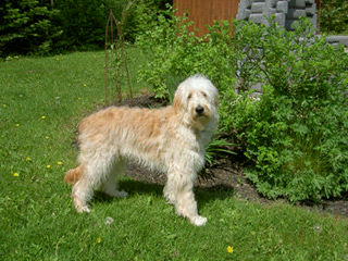 Molly's Darling Doodles And Poodles - Dog Breeders