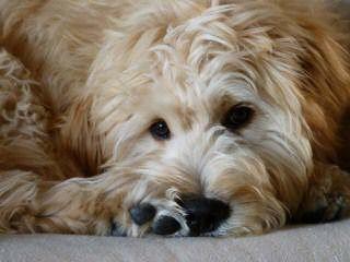 Doodle Dog Hill - Dog Breeders