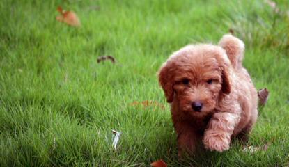 AZDESIGNERGOLDENDOODLES - Dog Breeders