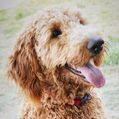 MINIATURE GOLDENDOODLES - Dog Breeders