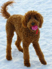 Goldendoodle - Dog Breeders