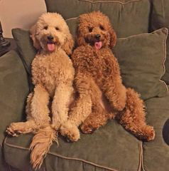 AngelViewGoldenDoodles - Dog Breeders