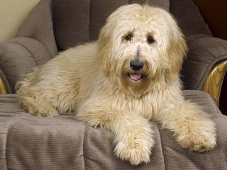 DeeCor Goldendoodles - Dog Breeders