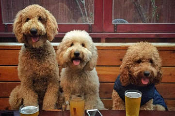 Miller's Georgeous Goldendoodles and Poodles - Dog Breeders