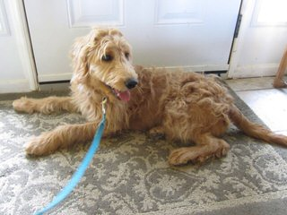 Molly's Darling Doodles And Poodles - Dog and Puppy Pictures