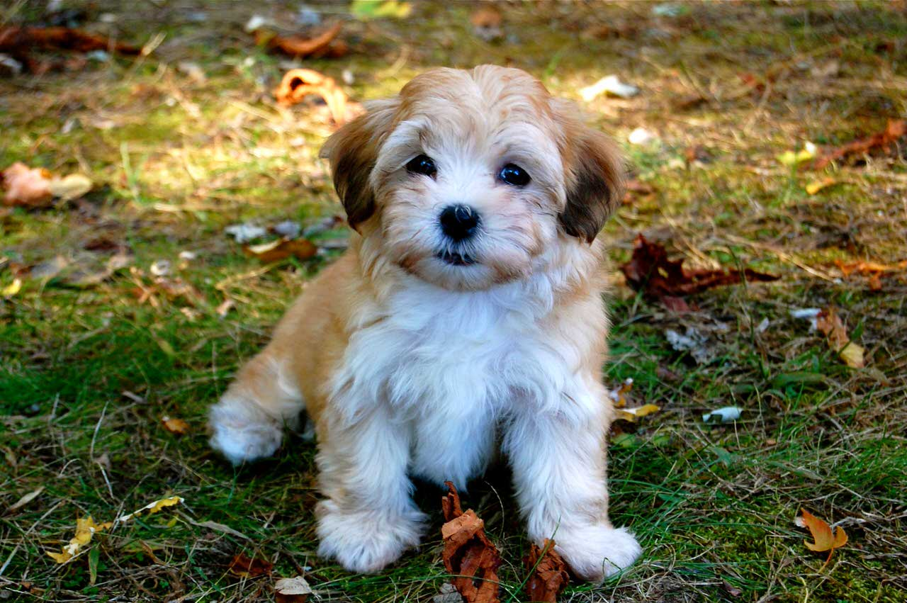 Havanese Dogs and Puppies