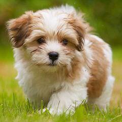 Creme de la Creme - Dog Breeders