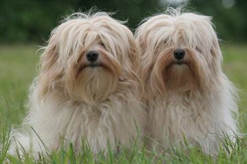 Havanese..Cerf Babies Now And Through The Holidays - Dog Breeders
