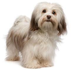 Sweet Dreams Havanese - Dog Breeders