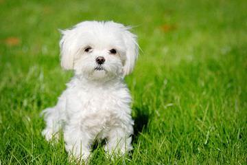 Hickory Knoll Havanese - Dog Breeders