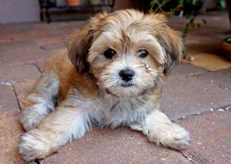 Fausthouse Happy Havanese - Dog Breeders
