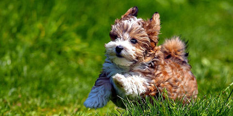 B F Havanese - Dog and Puppy Pictures