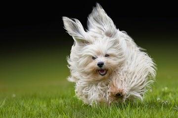 Sheryl's Must Havs Havanese - Dog Breeders